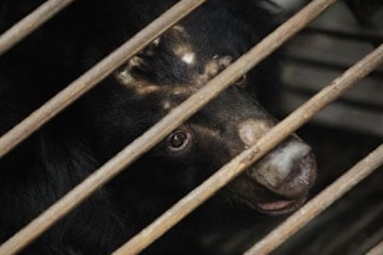 Bear Bile Touted As A Potent Coronavirus Treatment By China